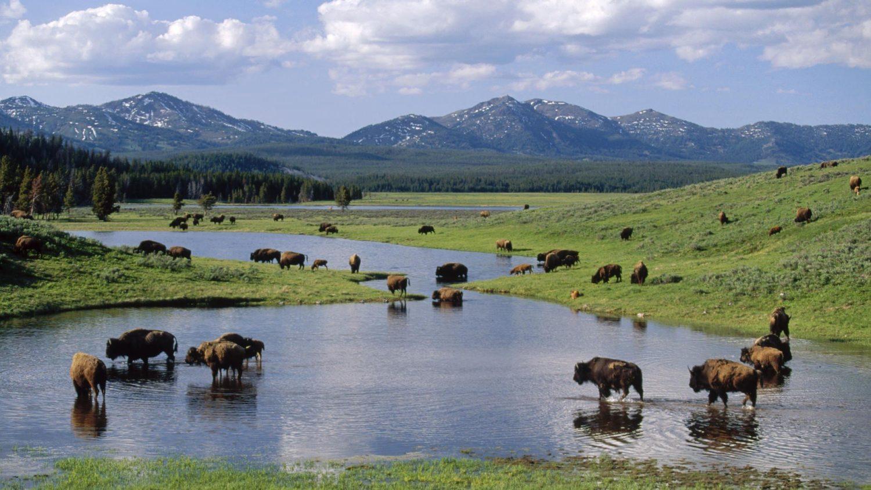 Parco Nazionale di Yellowstone Bisonti al pascolo